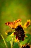 在向日葵的蝴蝶 免版税库存图片