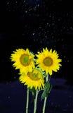 在向日葵的降雨量 免版税库存图片