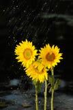 在向日葵的降雨量 库存图片