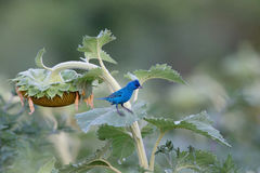 在向日葵的靛青鸟在领域 免版税库存照片