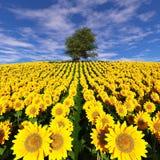 在向日葵的领域的偏僻的树在多云天空下 免版税库存图片