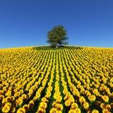 在向日葵的领域的偏僻的树在蓝天下 图库摄影