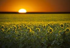 在向日葵的领域的日出。 免版税库存照片