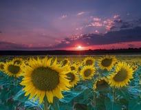 在向日葵的领域的日落 库存图片