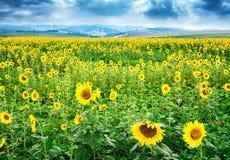 在向日葵的领域的美丽的明亮的黄色花 库存照片