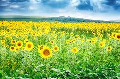 在向日葵的领域的美丽的明亮的黄色花 免版税库存图片