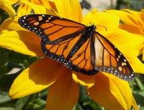在向日葵的黑脉金斑蝶 免版税库存图片