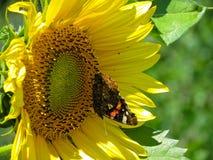 在向日葵的蝴蝶 图库摄影