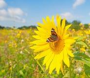 在向日葵的蝴蝶 库存图片