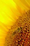 在向日葵里面的蜂 库存图片
