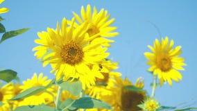 在向日葵附近的蜂飞行 影视素材