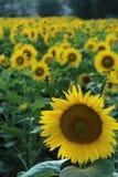 在向日葵领域前面的向日葵 库存图片