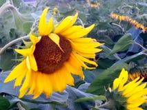 在向日葵领域的大明亮的黄色向日葵 免版税库存图片