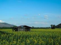 在向日葵领域的小小屋 库存照片