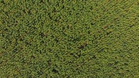 在向日葵领域的顶视图从寄生虫,移动横跨一个黄色领域 股票视频