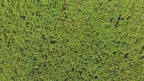 在向日葵领域的顶视图从寄生虫,移动横跨一个黄色领域 股票录像