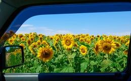 在向日葵领域通过车窗,美好的夏天风景,旅行概念的看法 库存照片
