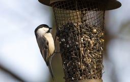在向日葵鸟饲养者,雅典,乔治亚美国的卡罗来纳州山雀 免版税图库摄影