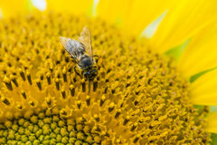 在向日葵(被射击的特写镜头的一只蜂) 库存图片