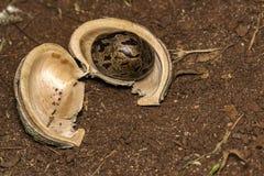 在吠声的橡胶树种子在地面上,三叶胶brasiliensis播种特写镜头照片 免版税库存图片