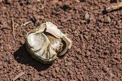 在吠声的橡胶树种子在地面上,三叶胶brasiliensis播种特写镜头照片 免版税库存照片