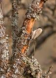 在吠声的沼泽山雀和地衣 免版税库存照片