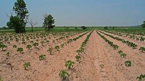 在含沙土壤的木薯领域 免版税库存图片