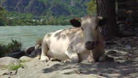 在含沙河岸的一头母牛 影视素材