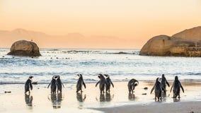 在含沙海岸的非洲企鹅在日落 红色天空 免版税图库摄影