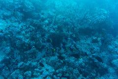 在含沙海底的年轻珊瑚礁形成 与净水和阳光的深刻的蓝色海透视图 与美洲黑杜鹃的海洋生物 库存图片