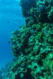 在含沙海底的年轻珊瑚礁形成 与净水和阳光的深刻的蓝色海透视图 与美洲黑杜鹃的海洋生物 库存照片