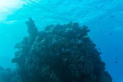 在含沙海底的年轻珊瑚礁形成 与净水和阳光的深刻的蓝色海透视图 与美洲黑杜鹃的海洋生物 免版税图库摄影