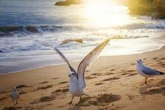 在含沙海滨的鸥在日落在阳光下 库存照片