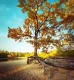 在含沙湖海岸的大偏僻的秋天橡树 图库摄影