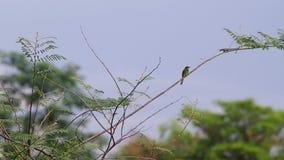 在含羞草射击的栗子带头的食蜂鸟 影视素材