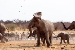 在听见前面的恼怒的大象 库存图片