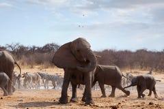 在听见前面的恼怒的大象 免版税库存图片