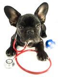 在听诊器的法国牛头犬 免版税库存照片
