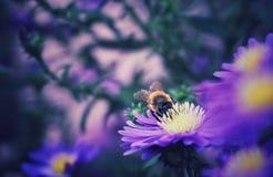 在吮他的花蜜的紫色雏菊的蜂 免版税库存图片