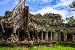 在吴哥窟寺庙的树 暹粒,柬埔寨王国 库存照片