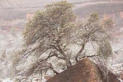 在吹的雪的胭脂栎树 免版税图库摄影