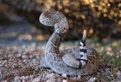 在呈S形的姿势的剧烈的响尾蛇 库存照片