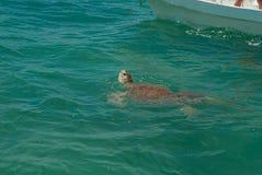 在呼吸的海龟在西安的钾生物圈' 免版税库存照片