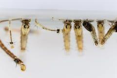 在命令双翅目的蚊子幼虫,按蚊sp 图库摄影