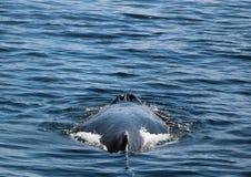 在和平的西北部的一个鲸鱼通风孔 免版税图库摄影