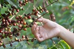 在咖啡树的咖啡豆 免版税库存图片