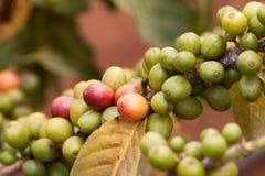 在咖啡树的新鲜的咖啡豆 库存图片