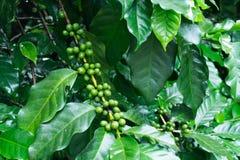 在咖啡树的未成熟的咖啡豆。 免版税图库摄影