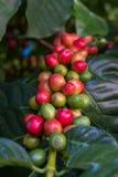 在咖啡树的未成熟的咖啡豆 库存照片