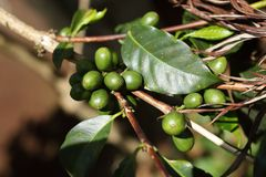 在咖啡灌木的咖啡樱桃 免版税库存照片